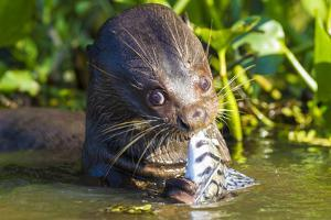 Brazil. Giant river otter eating fish in the Pantanal. by Ralph H. Bendjebar