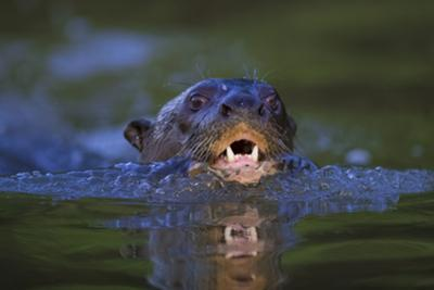Brazil. Giant river otter swimming in the Pantanal. by Ralph H. Bendjebar