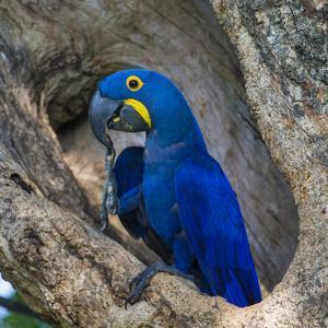 Brazil. Hyacinth macaw in the Pantanal. by Ralph H. Bendjebar