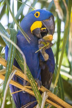 Brazil. Hyacinth macaw in the Pantanal. by Ralph H. Bendjebar