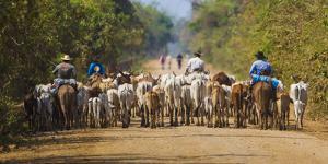 Brazil. Panateros, Brazilian cowboys drive cattle along the Rodovia Transpanateira. by Ralph H. Bendjebar