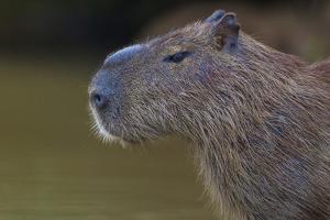 Brazil. Portrait of a capybara in the Pantanal. by Ralph H. Bendjebar