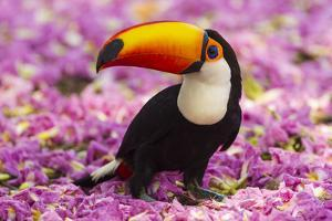 Brazil. Toco Toucan in the Pantanal. by Ralph H. Bendjebar