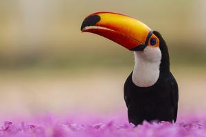 Brazil. Toco Toucan in the Pantanal. by Ralph H. Bendjebar