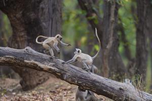 India. Grey langur, Hanuman langur at Bandhavgarh Tiger Reserve by Ralph H. Bendjebar