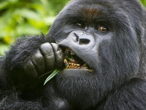 Silverback Mountain Gorilla, Volcanoes National Park, Virungas, Charles, Rwanda by Ralph H. Bendjebar