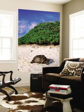 Giant Tortoise on Beach by Ralph Hopkins