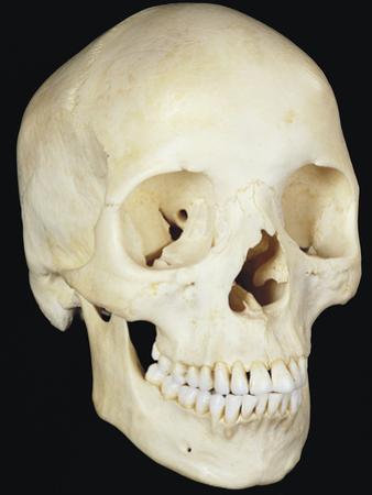 Human Skull from Front Prominent Features Include the Two Eye Sockets by Ralph Hutchings