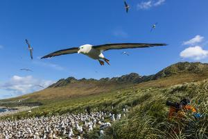 A Close Up of a Black-Browed Albatross in Flight on Steeple Jason Island in the Falkland Islands by Ralph Lee Hopkins