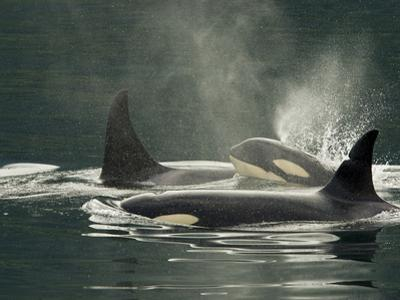 A Family of Orcas Swimming at the Surface of the Ocean by Ralph Lee Hopkins