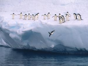 A Group of Adelie Penguins Taking Turns Leaping off an Iceberg by Ralph Lee Hopkins