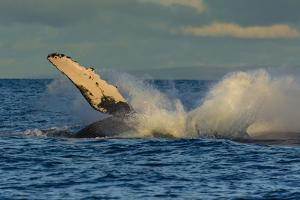 A Humpback Whale Breaches in the Pacific by Ralph Lee Hopkins