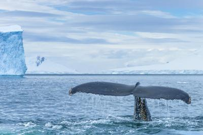 A Humpback Whale Tail Near Paradise Harbor, Antarctica by Ralph Lee Hopkins