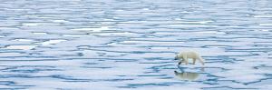 A Lone Polar Bear Walks Along Ice on the Arctic Ocean by Ralph Lee Hopkins