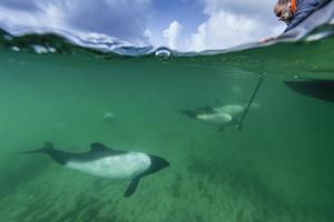 A Man Uses an Underwater Camera to Capture Images of Commerson's Dolphins, Falkland Islands by Ralph Lee Hopkins