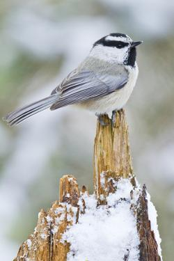 A Mountain Chickadee Perches on a Snowy Tree Stump by Ralph Lee Hopkins