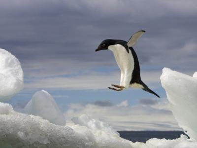 An Adelie Penguin, Pygoscelis Adeliae, Jumping on an Iceberg by Ralph Lee Hopkins