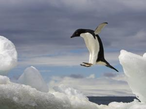 An Adelie Penguin, Pygoscelis Adeliae, Jumping on an Iceberg by Ralph Lee Hopkins