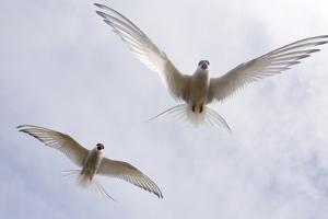 Arctic Terns in Flight in a Cloud-Filled Sky by Ralph Lee Hopkins
