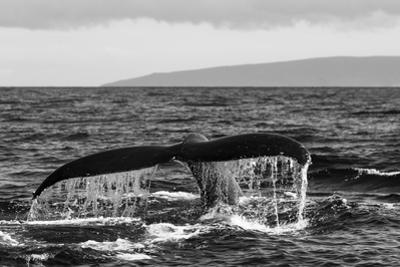 Black and White Photo of a Humpback Whale's Tail by Ralph Lee Hopkins