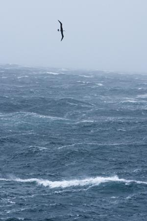 Black-Browed Albatross Flying in Gale Force Winds over a Stormy Sea by Ralph Lee Hopkins