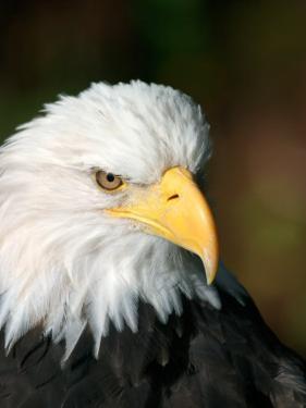Close Portrait of a Bald Eagle, Alaska by Ralph Lee Hopkins