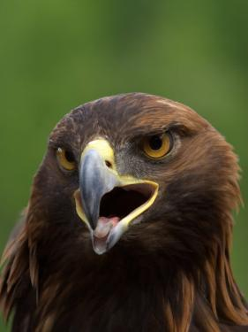 Close Portrait of a Golden Eagle, Alaska by Ralph Lee Hopkins