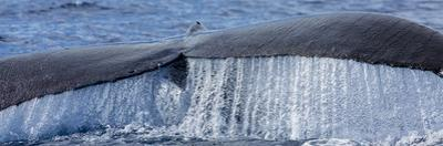 Close Up of a Humpback Whale's Tail Rising from the Pacific by Ralph Lee Hopkins