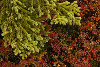 Close Up of Black Spruce and Blueberry Plants by Ralph Lee Hopkins