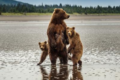 Coastal Brown Bear Family at Sliver Salmon Creek in Lake Clark National Park, Alaska by Ralph Lee Hopkins
