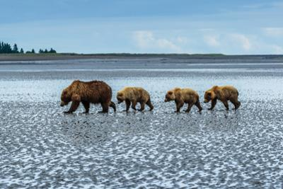 Coastal Brown Bears Walking across a Tidal Flat in Lake Clark National Park, Alaska by Ralph Lee Hopkins
