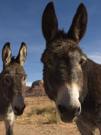 Donkeys Peer at the Camera in a Desert Scene by Ralph Lee Hopkins
