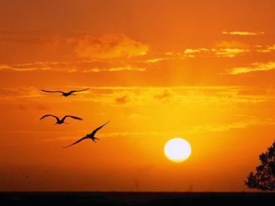 Frigate Birds Soaring at Sunrise, Cayos Cochinos, Islas De La Bahia, Honduras