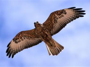 Immature Galapagos Hawk in Flight, Galapagos, Ecuador by Ralph Lee Hopkins