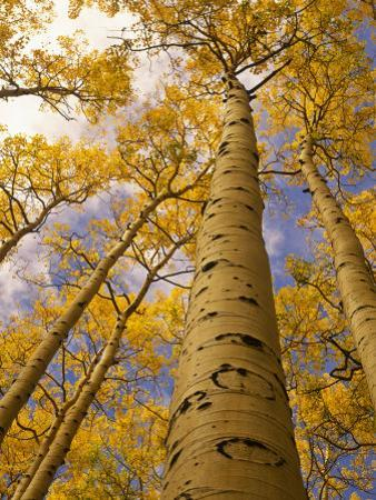 Looking Up at Towering Aspen Trees in Autumn Hues by Ralph Lee Hopkins