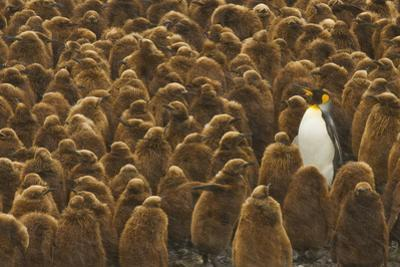 One Adult King Penguin Stands with a Large Group of Chicks by Ralph Lee Hopkins