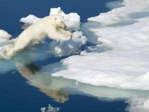 Polar Bear, Ursus Maritimus, on Pack Ice at Water's Edge by Ralph Lee Hopkins