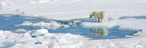 Polar Bear, Ursus Maritimus, on the Pack Ice by Ralph Lee Hopkins