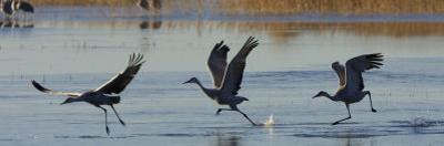 Sandhill Cranes Taking Flight from the Water