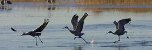 Sandhill Cranes Taking Flight from the Water by Ralph Lee Hopkins