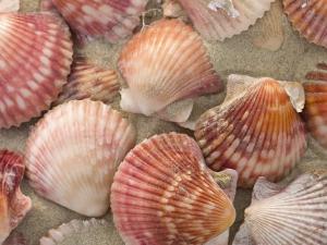 Scallop Shells on a Beach by Ralph Lee Hopkins
