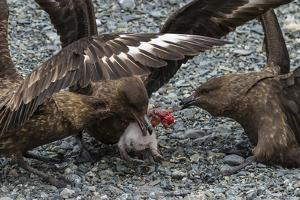 Three Brown Skuas Eating a Penguin Chick Near Elephant Island, Antarctica by Ralph Lee Hopkins