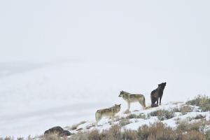 Three Gray Wolves on a Snowy Hill by Ralph Lee Hopkins