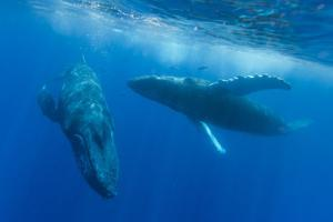 Two Endangered Humpback Whales, Megaptera Novaeangliae, Swimming in an Underwater Dance by Ralph Lee Hopkins