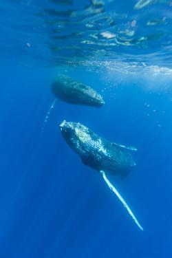 Two Humpback Whales Dance in the Pacific by Ralph Lee Hopkins