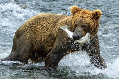 Yearling Brown Bear, Ursus Arctos, Catches a Sockeye Salmon Below Brooks Falls by Ralph Lee Hopkins