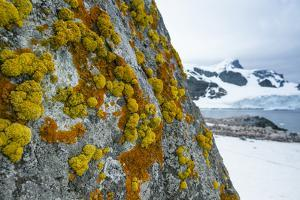 Yellow and Orange Crustose Lichens on Cuverville Island, Antarctica by Ralph Lee Hopkins