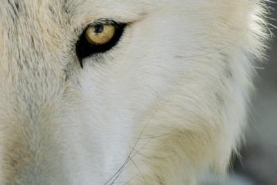 https://imgc.allpostersimages.com/img/posters/ramah-new-mexico-united-states-wild-spirit-wolf-sanctuary_u-L-PU3D3Y0.jpg?p=0