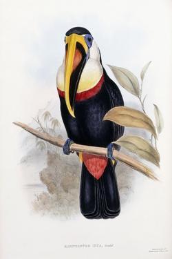 Ramphastos Inca