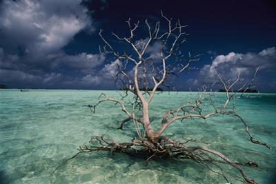 A barren tree floats adrift in the crystal-clear waters of Palmyra Atoll. by Randy Olson